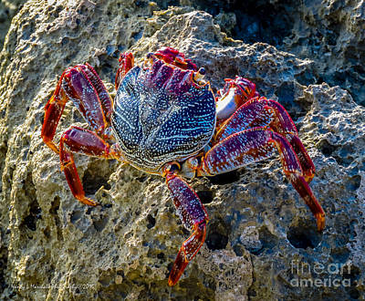 Fort Pierce Inlet Photograph - Sally Lightfoot Crab 1 by Nancy L Marshall