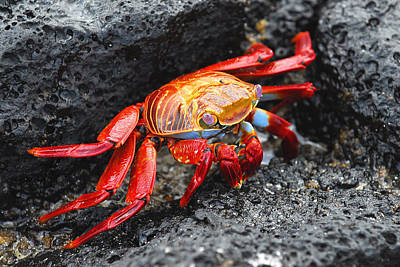 Photograph - Sally Lightfoot Crab by Alan Lenk