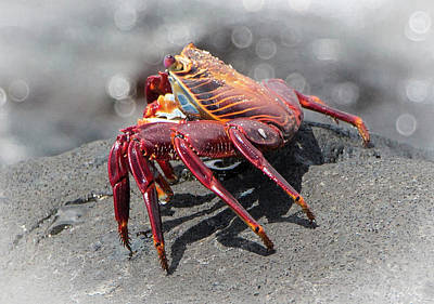Photograph - Sally Lightfoot Crab, Grapsus Grapsus by Venetia Featherstone-Witty