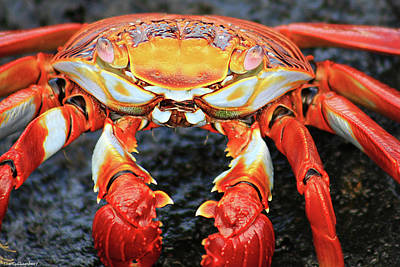 Sally Lightfoot Crab Art Print by Sue Cullumber