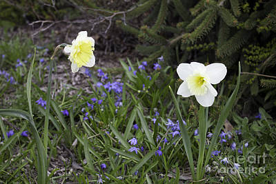 Photograph - Salmon Arm Daffodils by Donna Munro