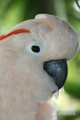 Cockatoo Photograph - Salmon Crested Moluccan Cockatoo by Sharon Mau