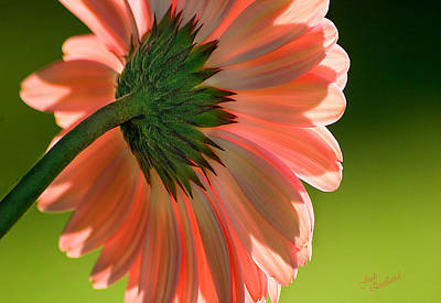 Photograph - Salmon Pink Daisy by Judi Quelland