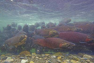 Salmon School Is In Session- Abstract Art Print by Tim Grams