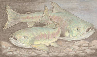 Drawing - Salmon Spawn by Dan McGibbon
