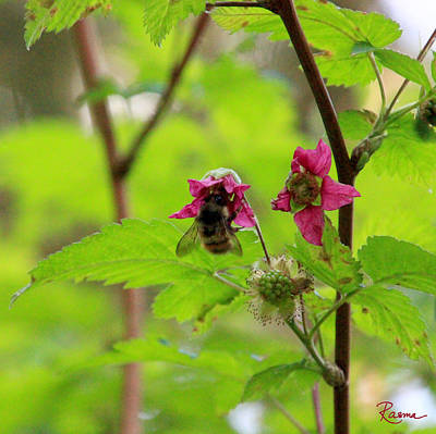 Photograph - Salmonberry Honey by Rasma Bertz