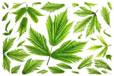 Salmonberry Leaves Art Print by Masako Metz