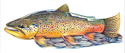 Brown Trout Drawing - Salmotrutta by Silas Beck