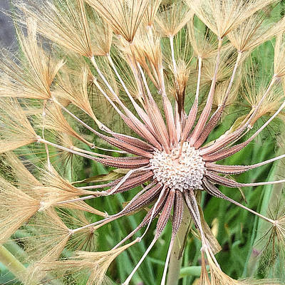 Photograph - Salsify As Exploding Star by Ronda Broatch