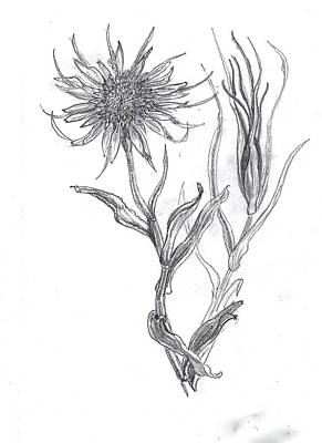 Native Plants Drawing - Salsify Wildflower Field Sketch by Dawn Senior-Trask