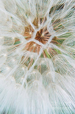 Photograph - Salsify Wishie by Frank Townsley