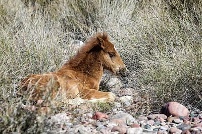 Photograph - Salt River Colt Taking A Rest by Belinda Greb