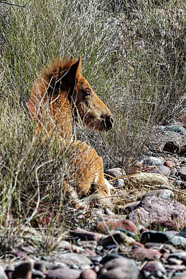 Photograph - Salt River Foal Finding A Spot To Rest by Belinda Greb