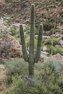 Photograph - Salt River Saguaro by Tom Daniel