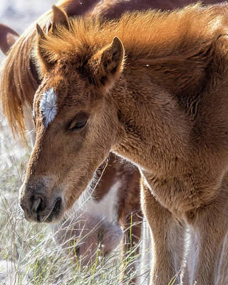 Photograph - Salt River Sleepy Foal by Belinda Greb