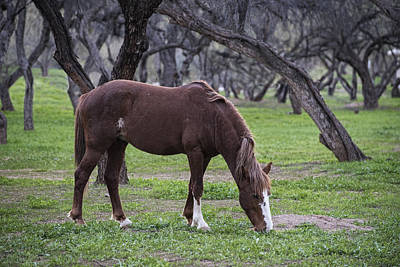 Photograph - Salt River Stallion Grazes by Dave Dilli