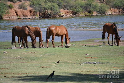 Photograph - Salt River Wild Horses Tonto National Forest Feeding Number One by Heather Kirk