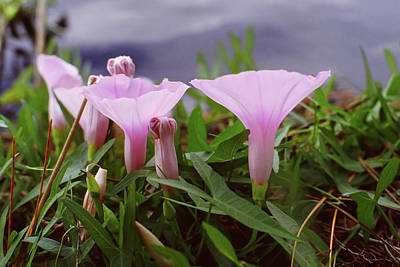 Photograph - Saltmarsh Morning Glories by Paul Rebmann