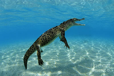 Saltwater Crocodile Art Print by Franco Banfi and Photo Researchers