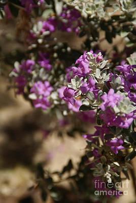 Photograph - Salvia Dorrii by Linda Shafer