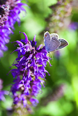 Photograph - Salvia's Small Visitor by Shelly Gunderson