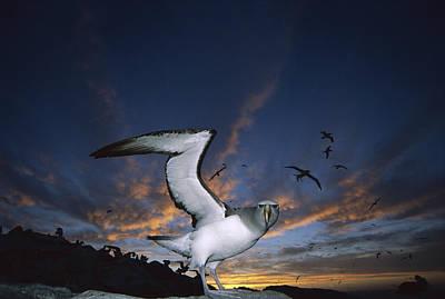 Photograph - Salvins Albatross At Sunset by Tui De Roy