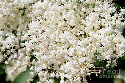 Sambucus Nigra Blossoms Macro Art Print by Arletta Cwalina