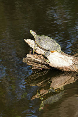 Photograph - Same Log-different Turtle by William Tasker