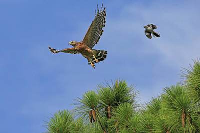 Red Shouldered Hawk Photograph - Samson And Goliath by Donna Kennedy