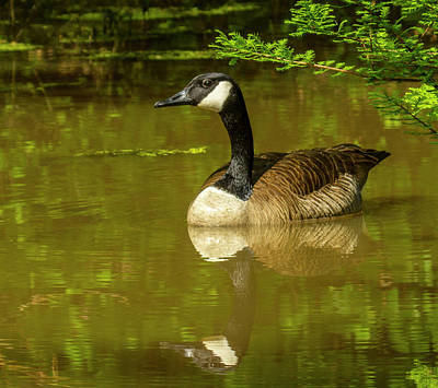 Photograph - Sam's Goose by Jeff Kurtz