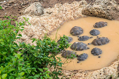 Photograph - San Cristobal 2-year Old Tortoises by Harry Strharsky