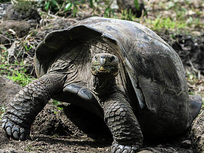 Photograph - San Cristobal Giant Tortoise by Gary Hall
