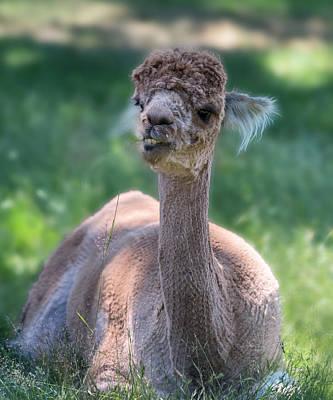 Llama Photograph - San Juan Alpaca Shear Heaven by Betsy Knapp