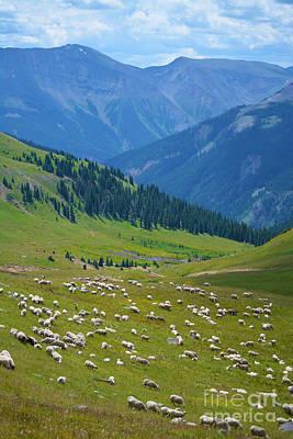 Photograph - San Juan Sheep by Kate Avery