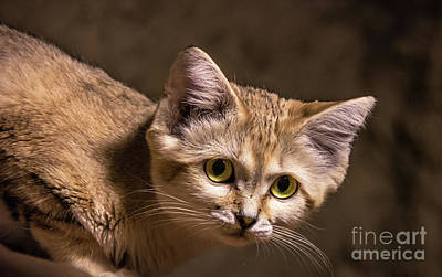Photograph - Sand Cat by Lisa L Silva