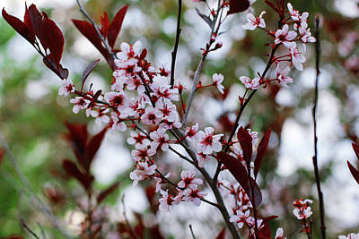 Photograph - Sand Cherry Blossoms by Donna L Munro