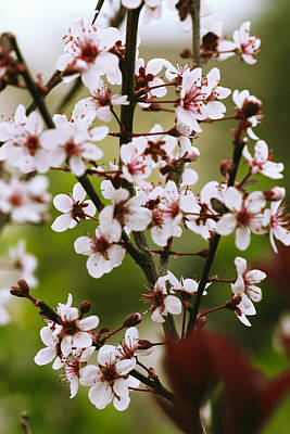 Photograph - Sand Cherry Branch Bouquet by Donna L Munro