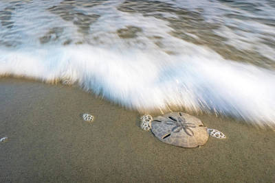 Photograph - Sand Dollar by Serge Skiba