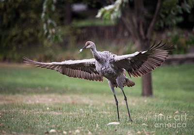 Photograph - Sand Hill Crane Chick - 3 by David Bearden