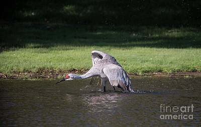 Photograph - Sand Hill Crane Wading  - 2 by David Bearden