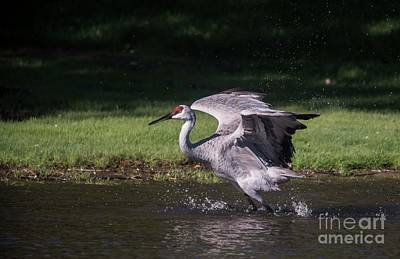 Photograph - Sand Hill Crane Wading - 3 by David Bearden