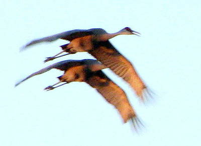 Photograph - Sand Hill Cranes by T Guy Spencer