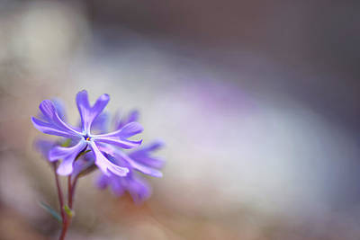 Photograph - Sand Phlox by Robert Charity