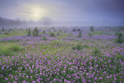 Sand Verbena Flower Field At Sunrise Print by Tim Fitzharris
