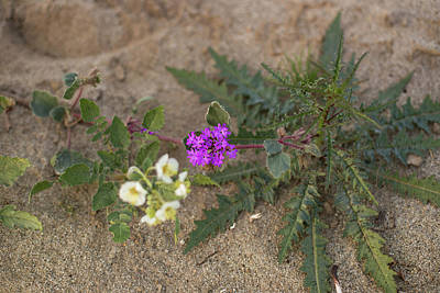 Photograph - Sand Verbena Sunset by Kunal Mehra