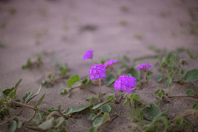 Photograph - Sand Verbenas In Bloom by Kunal Mehra