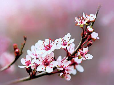 Photograph - Sandcherry Blossoms by Carolyn Derstine