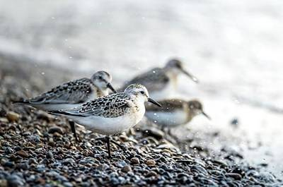 Ornithology Photograph - Sanderling . Got Me Confused To by Hsa Htaw