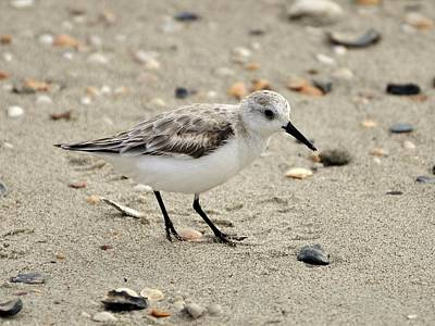 Al Powell Photograph - Sanderling by Al Powell Photography USA