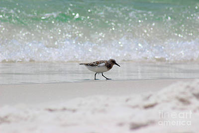 Photograph - Sanderling Bird And Wave by Karen Adams